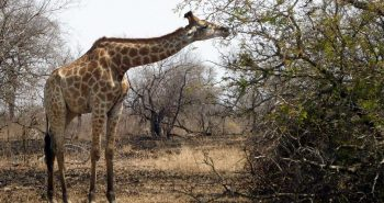 giraffe-krueger-nationalpark