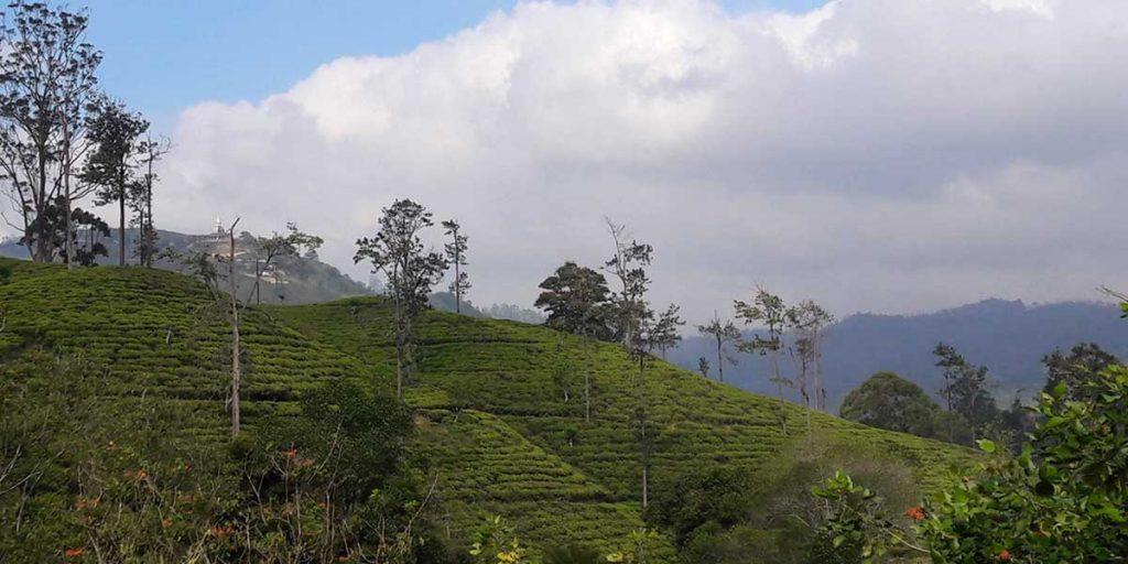 teeplantagen-sri-lanka