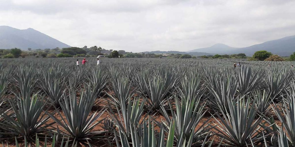 agave-tequila-jalisco