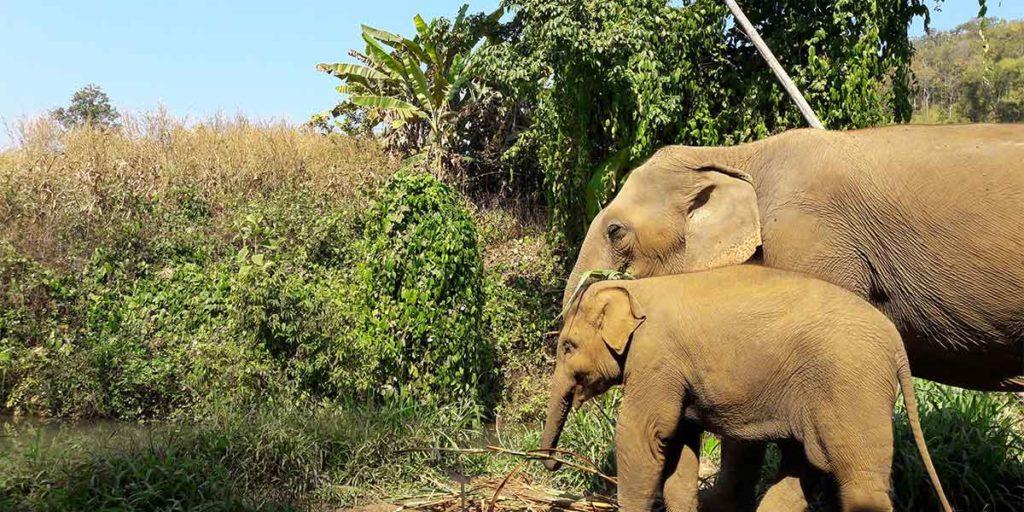 elefanten-chiang-mai